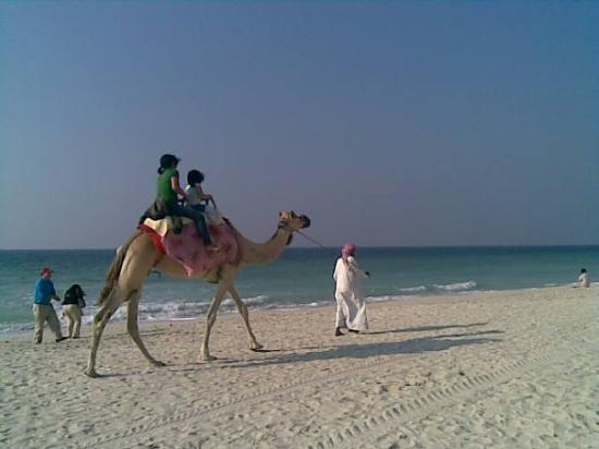 camel-beach-uae